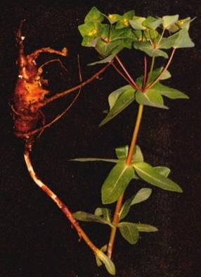 红大戟(knoxiae radix)