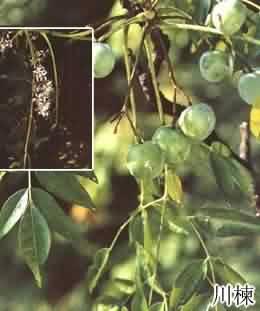 川楝子有机肥疏松土壤专用有机肥