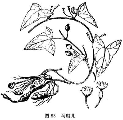 藤本植物手绘图