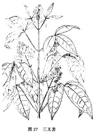 間日疟原虫手绘图
