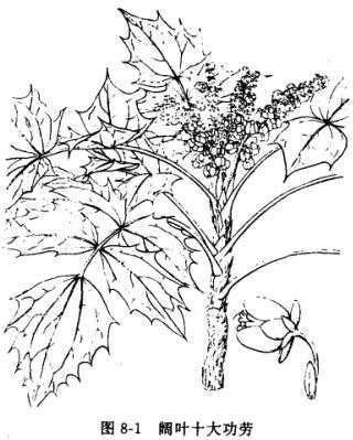 阔叶十大功劳:常绿灌木